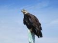 An eagle in Homer, AK.