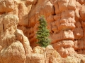 Red Canyon, Golden Wall Trail, UT - that's a full sized tree!