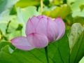 Australia was the first place I saw a lotus flower! Beautiful!!