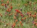 Mountain flowers in the Eastern Sierras :).