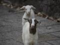 Friendly goats during our walk around Zhangjaijie NP.