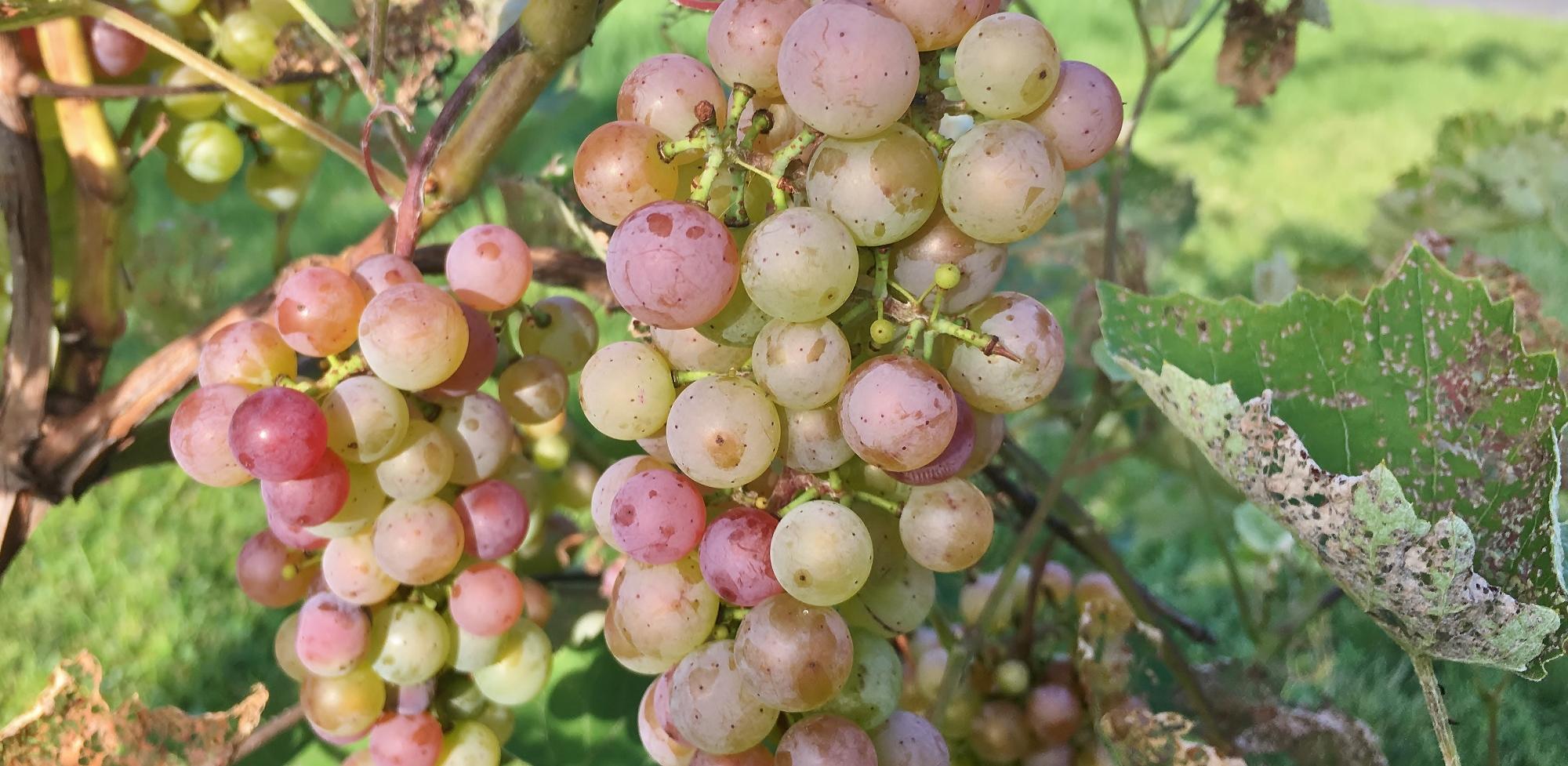 Grapes 2019