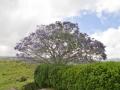 Jacaranda trees were in bloom!