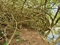 Some parts of Hawaii are so lush it's possible to create tunnels out of branches and roots!