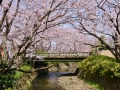 Cherry blossoms in Himeji.