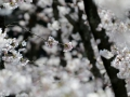 Cherry blossoms in Himeji!