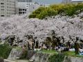 Cherry blossoms and hanami in Hiroshima!