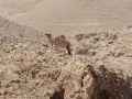 A camel hanging out near the Dead Sea.
