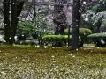 Cherry blossom snow in Kanazawa