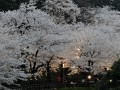 Cherry blossom viewing in the evening.
