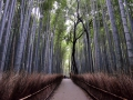 A bamboo grove in Kyoto.
