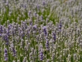I have never been close to a field of lavender. I didn't realize the lavender wasn't purple but it was more of a silvery blue gray-ish.