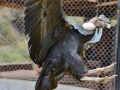 We went to an area that raised and took care of condors. They are HUGE birds!