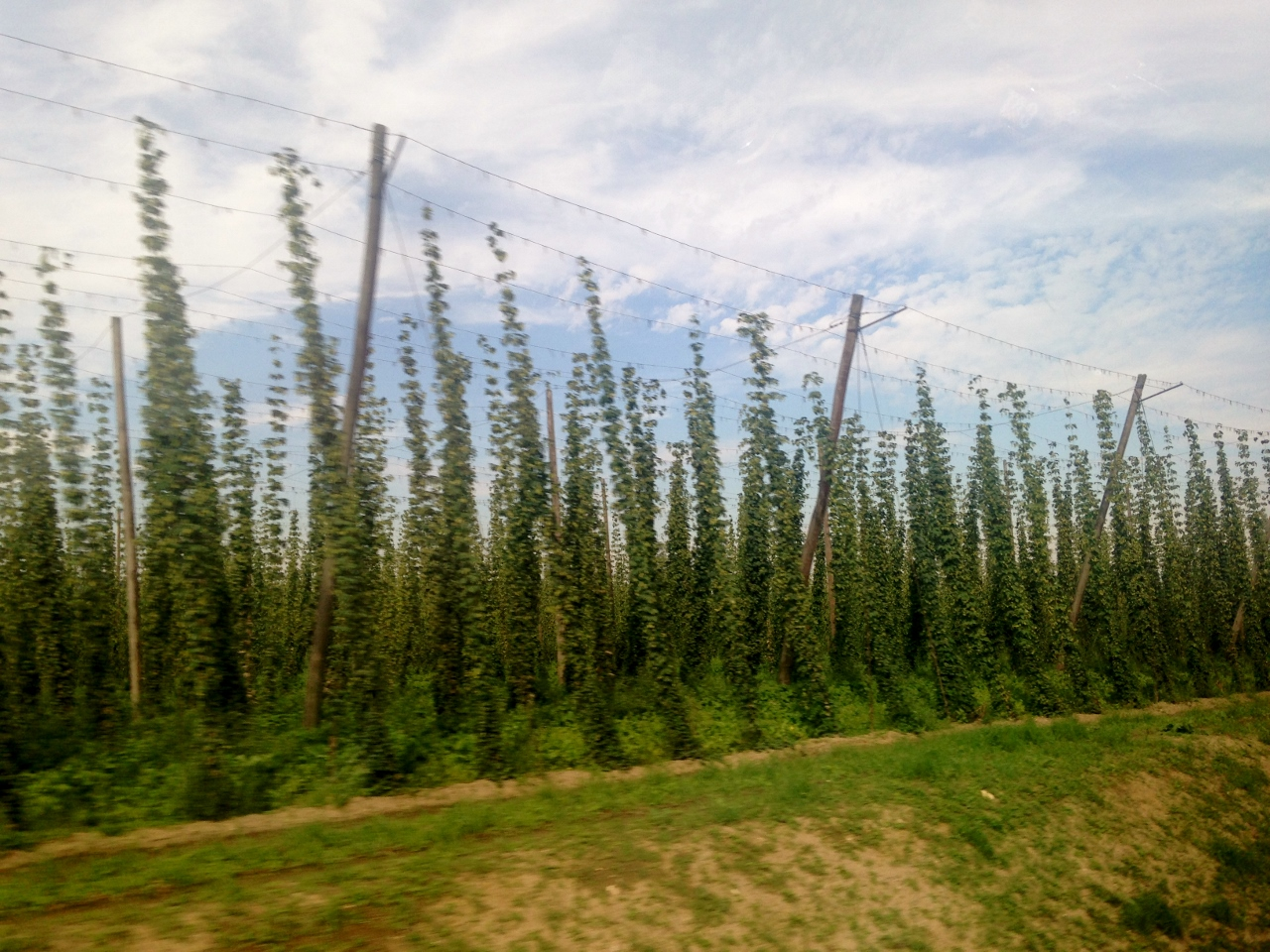 Hops growing all over the place in Bavaria.