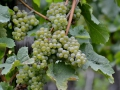 Riesling grapes in the Rhine River valley.