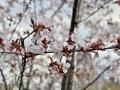 Cherry blossoms Spring 2020