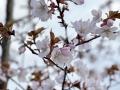 Apple blosoms Spring 2020