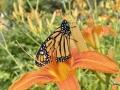 Monarch; Spring 2020
