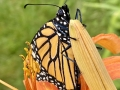 Monarch, Spring 2020