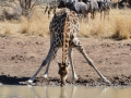 Giraffes look totally ridiculous when drinking water!!