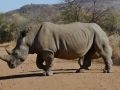 We came across this rhino while driving and it was probably 10ft away from us -- we had to back up to let it thru!