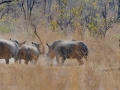 We  saw a rhino scuffle. We didn't know what to make of the two creepers on the right. Were they there for moral support?