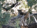 This was the leopard we saw! It was really hard to find him!