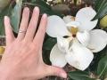 MASSIVE Magnolia flowers!