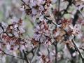 Almond flowers near Zahara de la Sierra, Spain