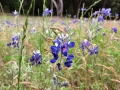 Flowers in bloom around DFW - so many blue bonnets in bloom!