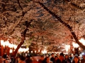 Cherry blossoms at night!