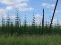 There were some huge hop plantations around the countryside. The photo does the scale of the hop farm no justice.