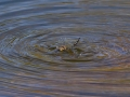 Dragonfly getting unstuck from the water in the Uintas