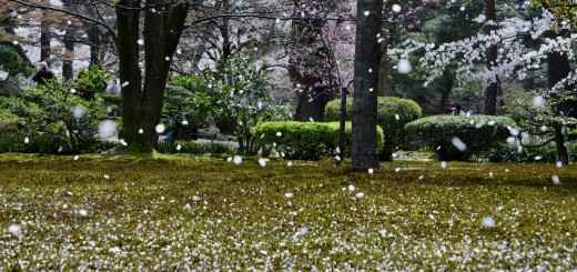Cherry-blossom-snow-in-Kanazawa