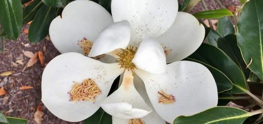 MASSIVE-Magnolia-flowers